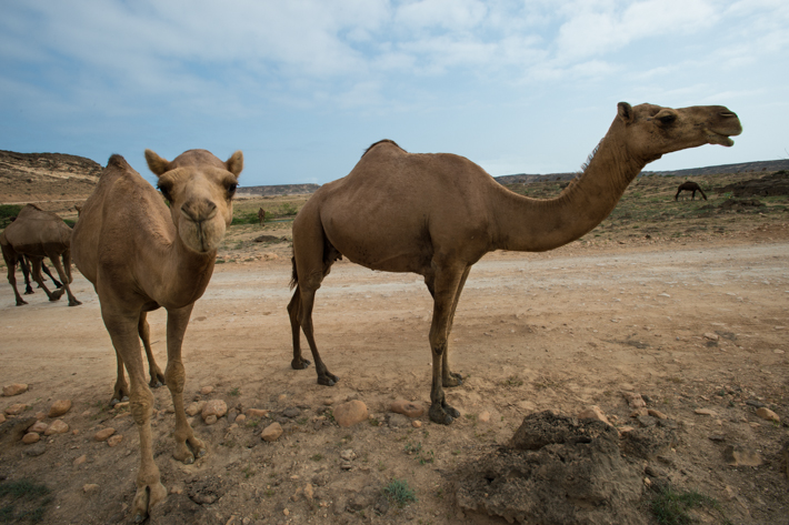 camels at Sumhuram