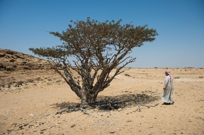 frankincense tree, Wadi Dawkah