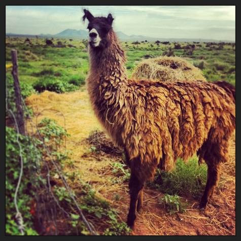 Llama protecting the goats at Marfa Maid Dairy