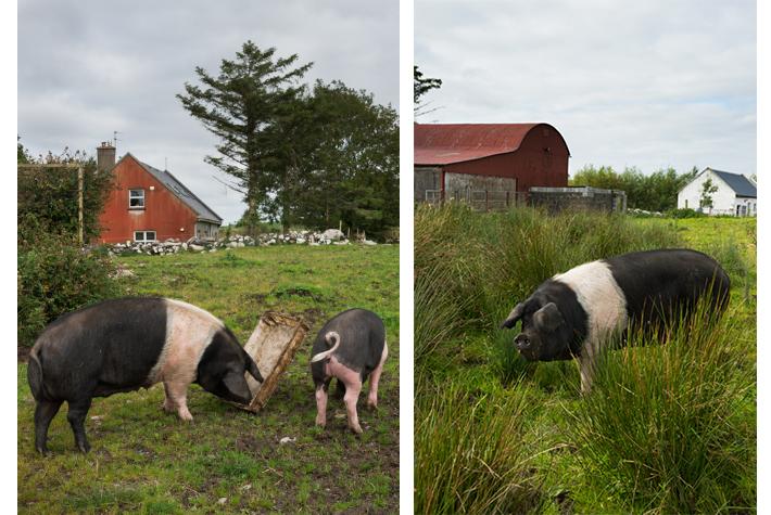 Burren free range pork