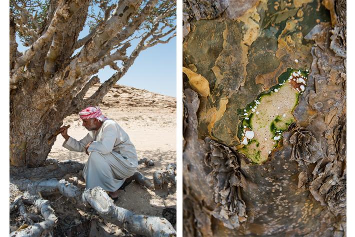 frankincense sap, Wadi Dawkah