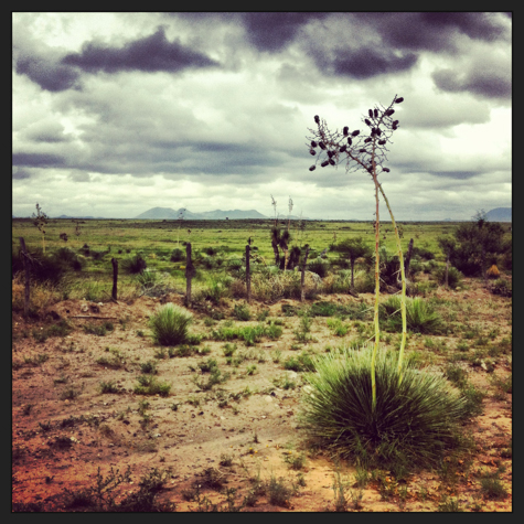 Yuccas grow like weeds here, Davis Mountains in background