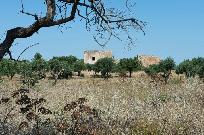 Olive trees, Marsala.