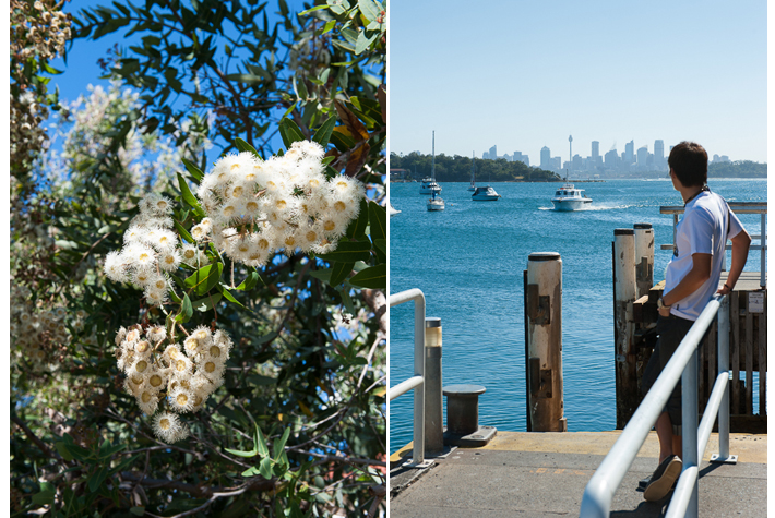 white flowering gum,waiting for the ferry
