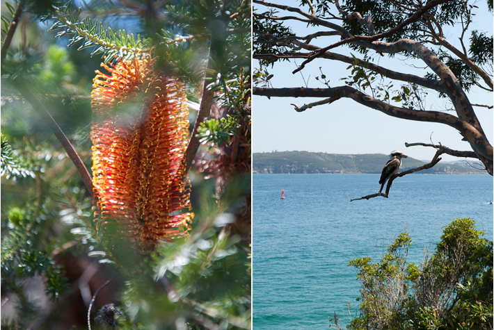 Bottle Brush, Kookaburra